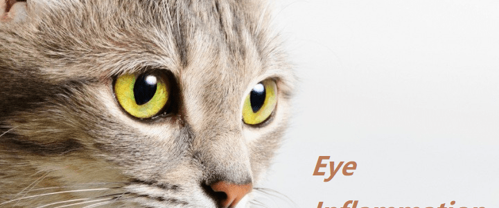 The cat and eye inflammation